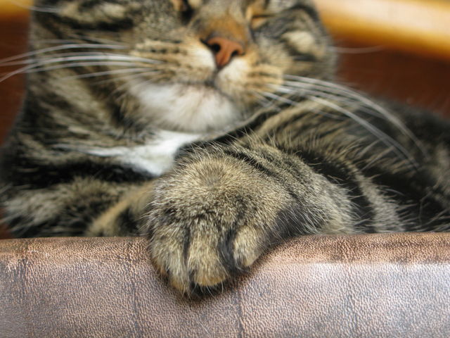 tabby cat, whiskers, paw