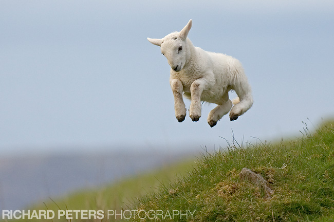 jumping lamb, richard peters photography