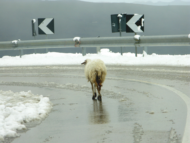 sheep, road, snow, kate bailward