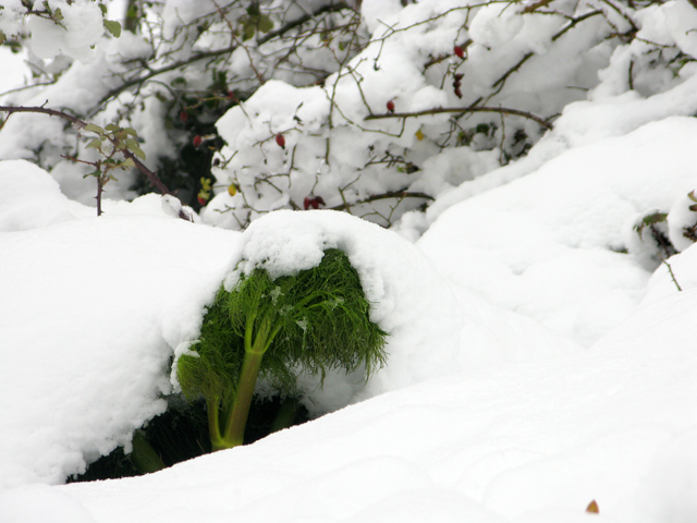 snow, wild fennel, kate bailward
